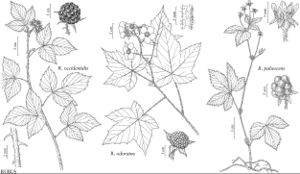 FNA9 P4 Rubus occidentalis.jpeg
